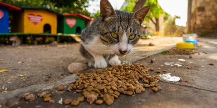 Barınakta Mama Yiyen Kedi