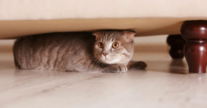 Evde Saklanan Kedi