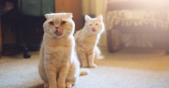 ikinci kedi