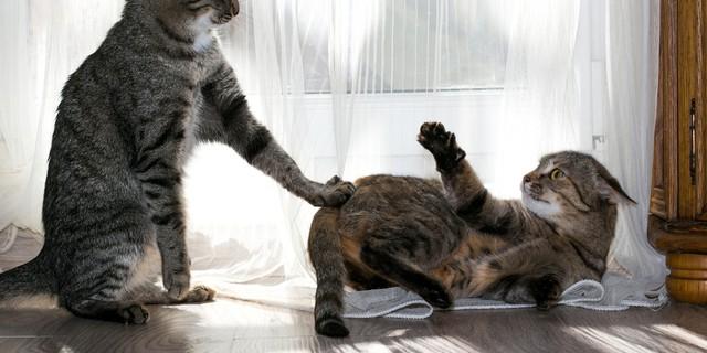 kediler arasındaki saldırganlık
