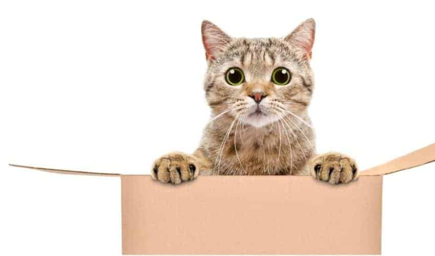 Kediler kutuları neden sever? Kutuların cazibesi!