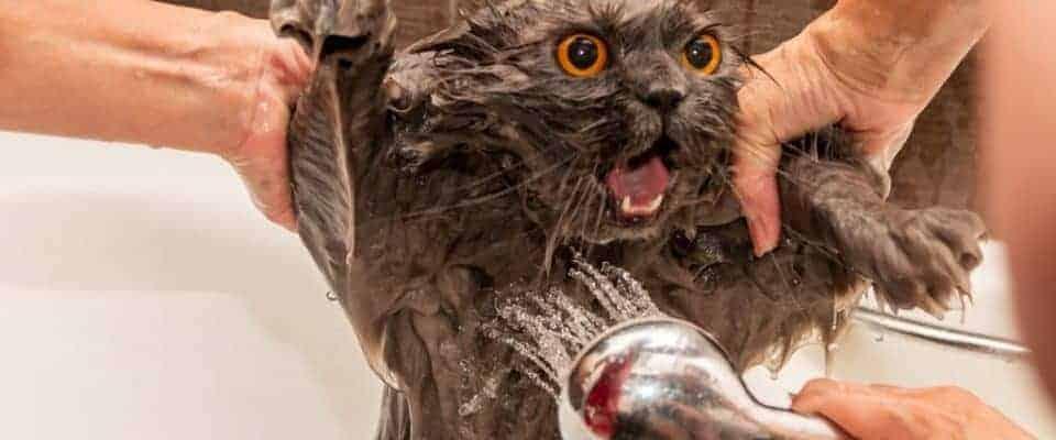Kediler neden suyu sevmez?