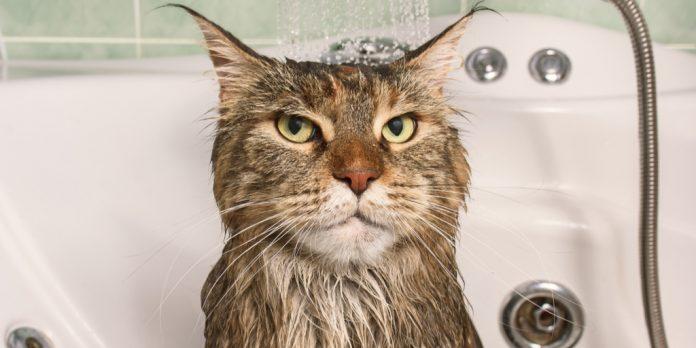 kedilere nasıl banyo yaptırılır