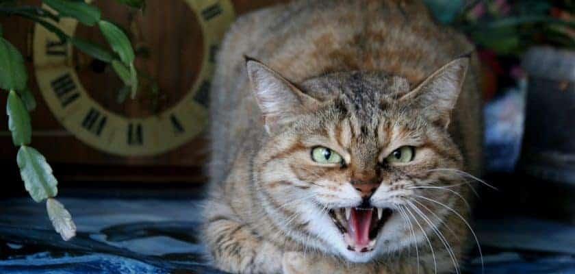 Agresif Kedileri Sakinleştirme Yöntemleri