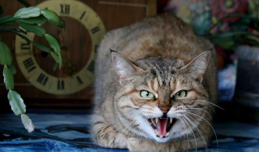 Kedileri sakinleştirme yöntemleri – Kedinizin saldırgan olmaması için yapmanız gerekenler