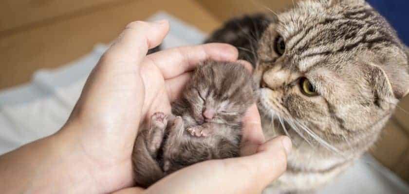 Anne kedi ve yavru kedi bakımı