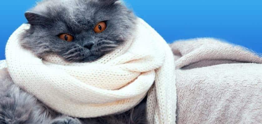Atkılı Kedi
