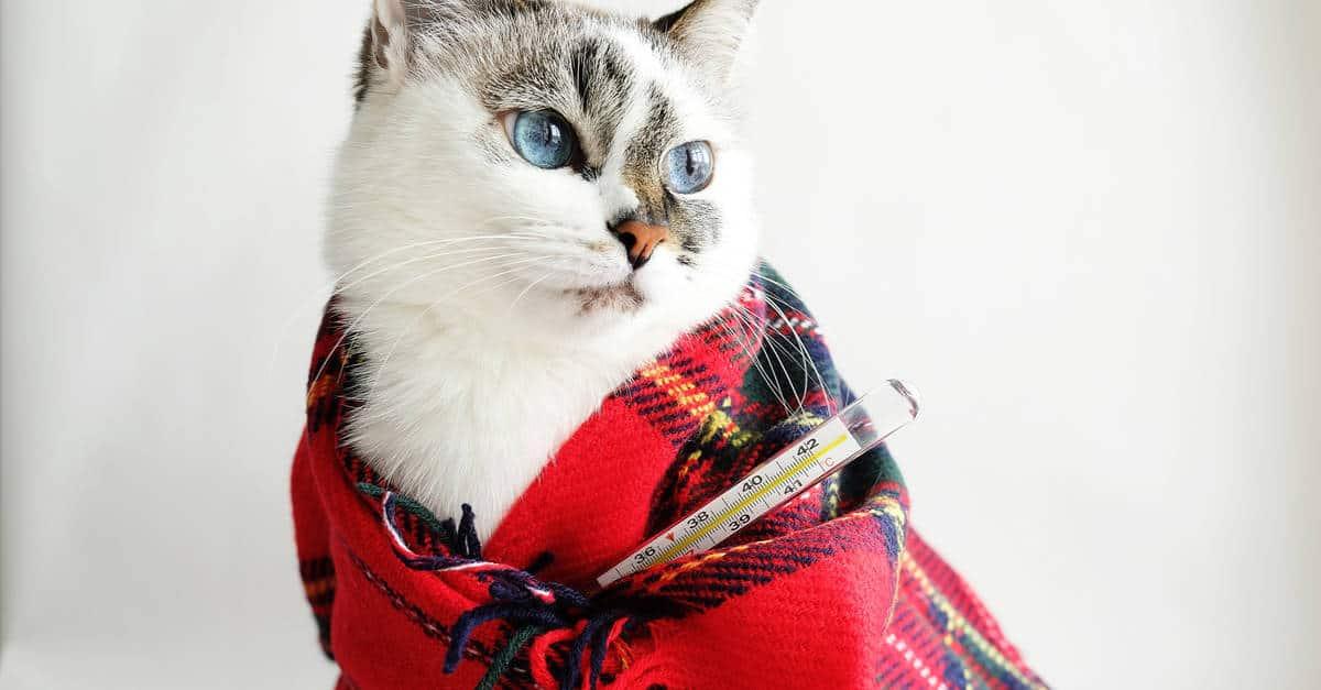 Battaniyeye Sarılmış Kedi