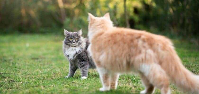 Birbirinden Ayrı Kalan Kedilerde Saldırganlık