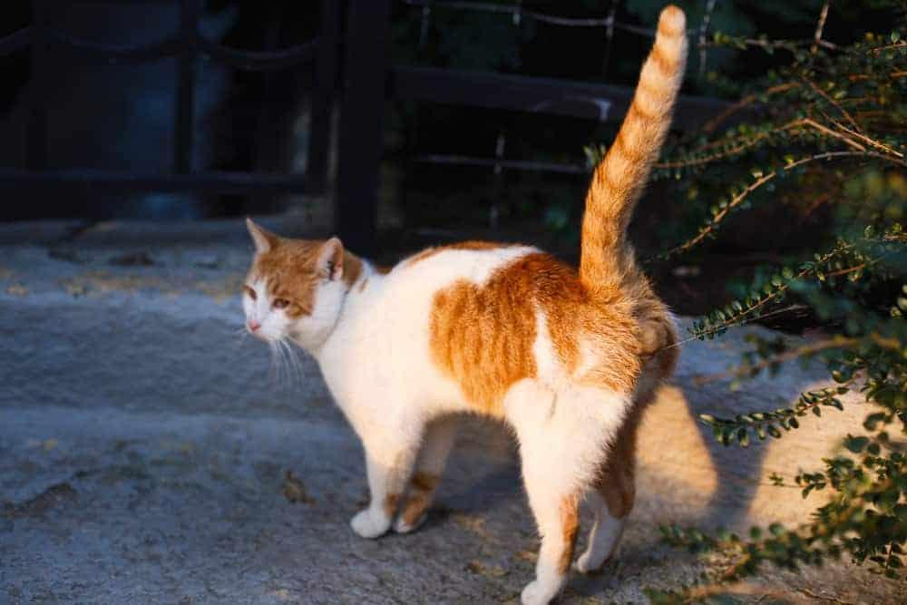 Feromon Salgılayarak Bölgesini İşaretleyen Kedi