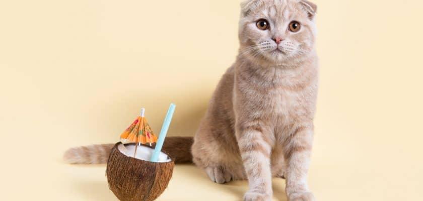 coconut ile poz veren kedi