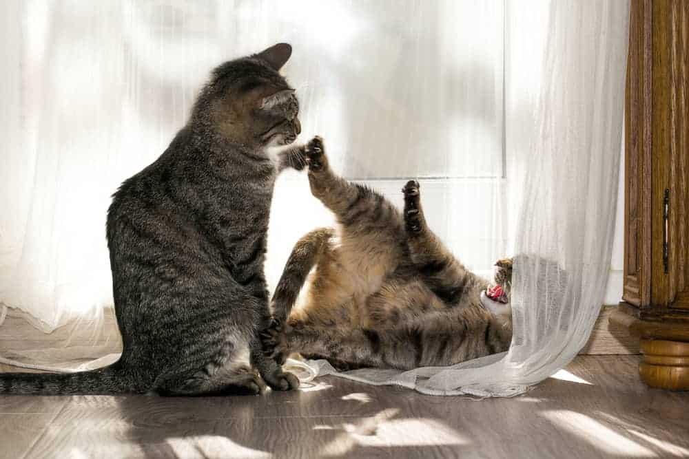 Ev Kedileri Arasındaki Saldırganlık