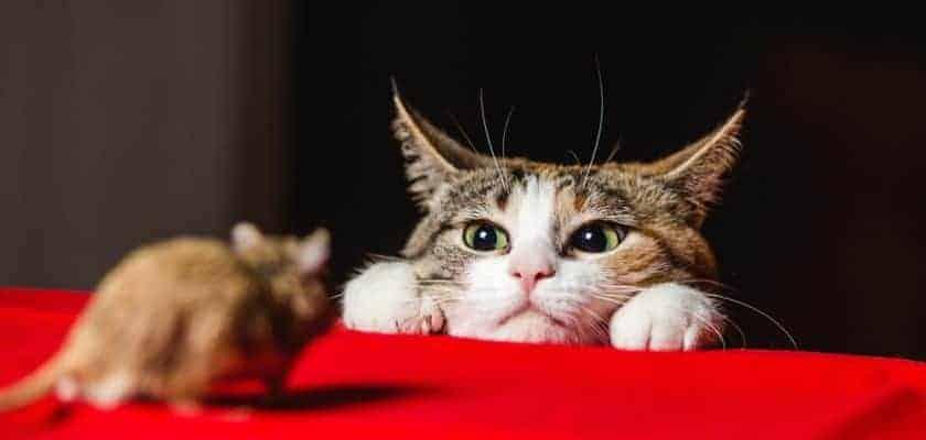 fareye bakan kedi