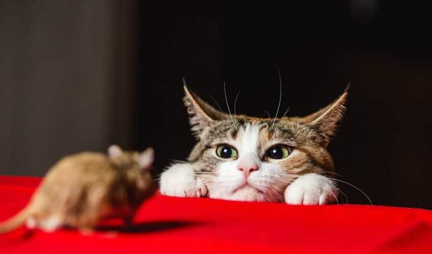 Kemirgenler ve kediler: Hastalık potansiyeli ve diğer riskler