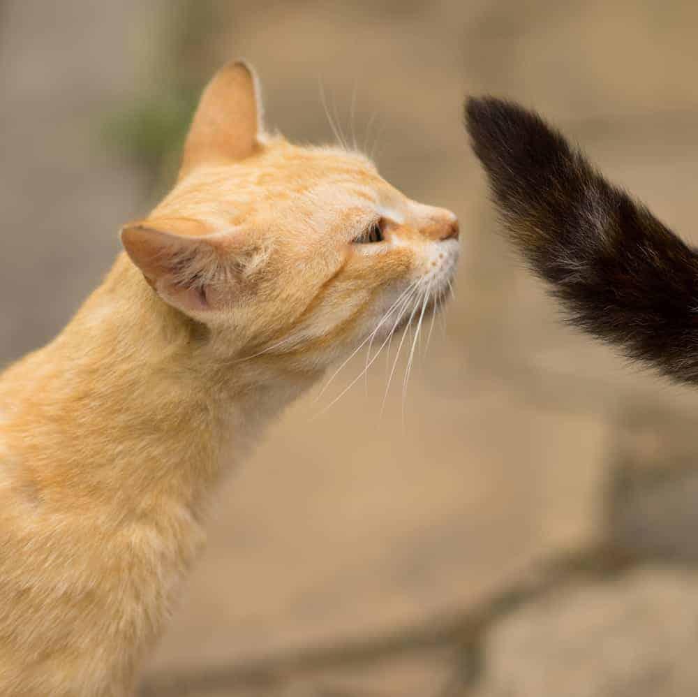 Feromon Salgılayan Kedi