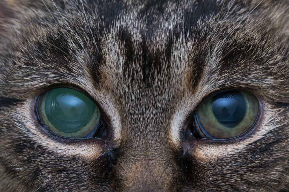 Glokomlu kedi