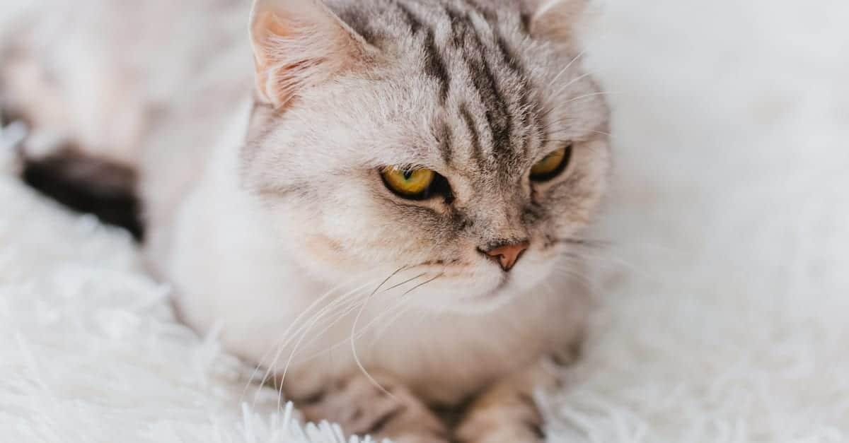 Gri yetişkin kedi