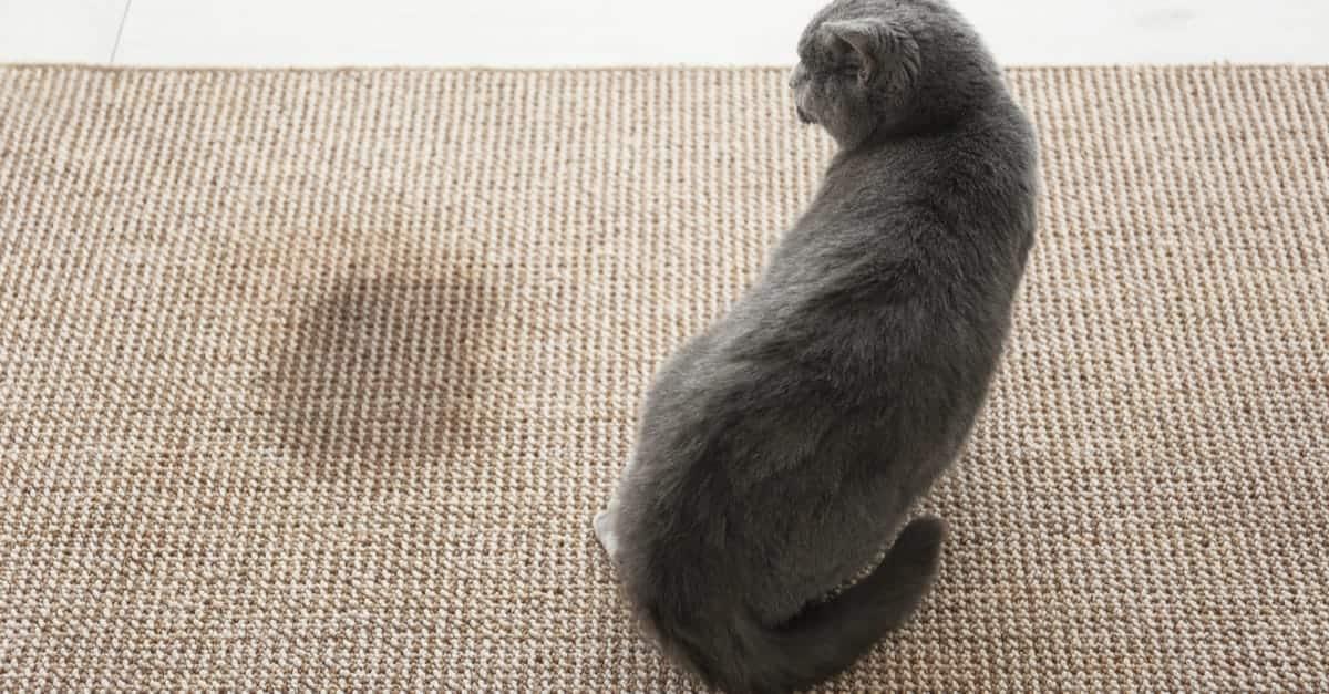 Halının Üzerinde Kedi