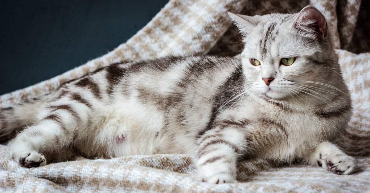 hamile kedilerin bakımı