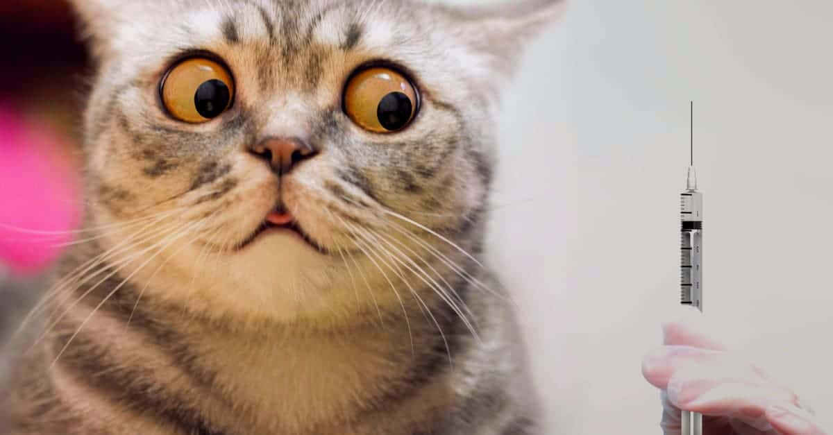 İğneden Korkan Kedi