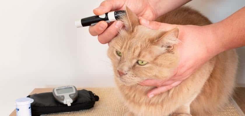 kan şekeri ölçülen kedi