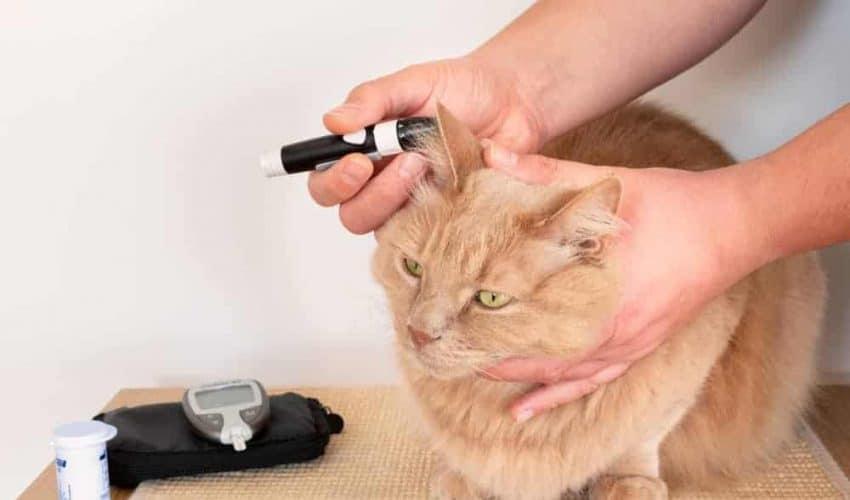 Diyabetli kedilerde somogyi etkisi nedir?