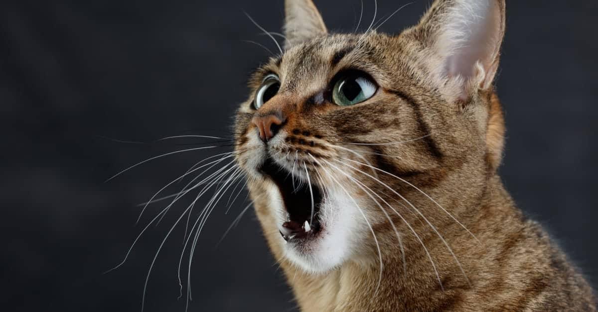 kedilerin bıyıkları