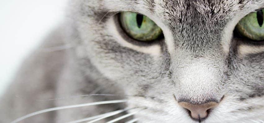 Kedilerde glokom (göz tansiyonu): Belirtileri nelerdir? Nasıl tedavi edilir?