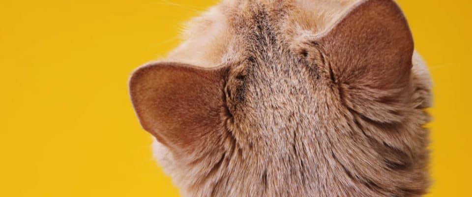 Kedilerin kulakları nasıl temizlenir?