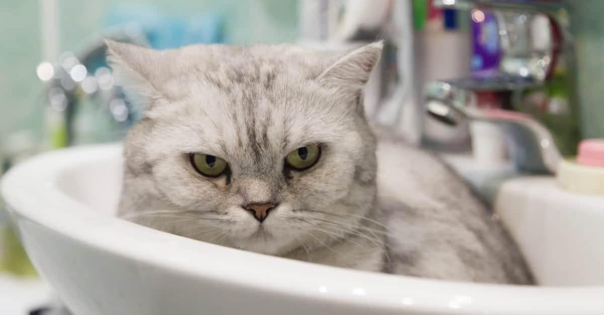 kedi lavabo