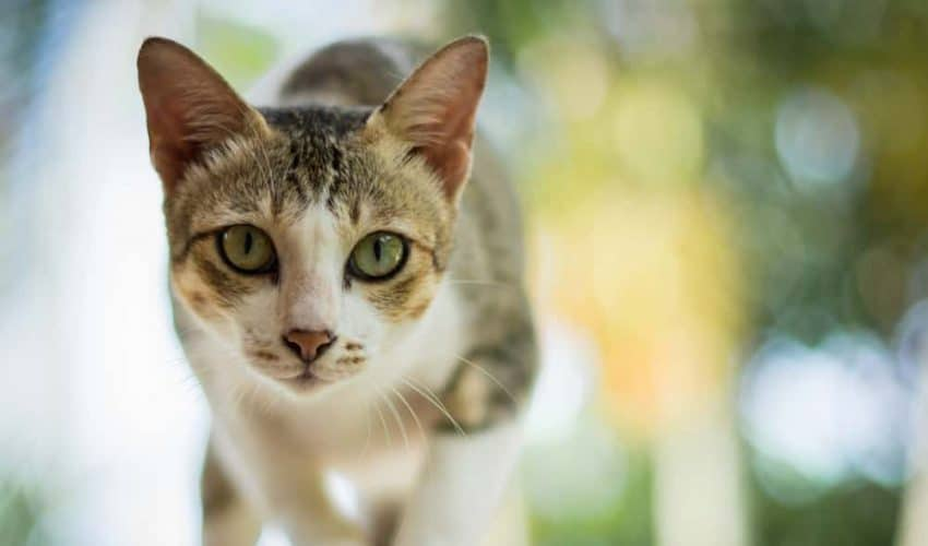 Kedi Serebellar Hipoplazisi