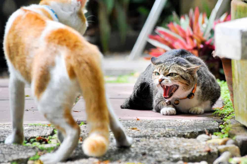 Kediler Arası Saldırgan Davranış