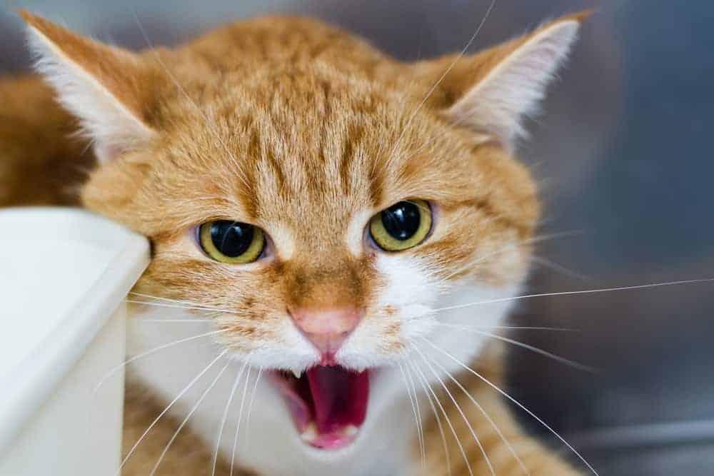 Kedilerde Bölgesel Saldırganlık