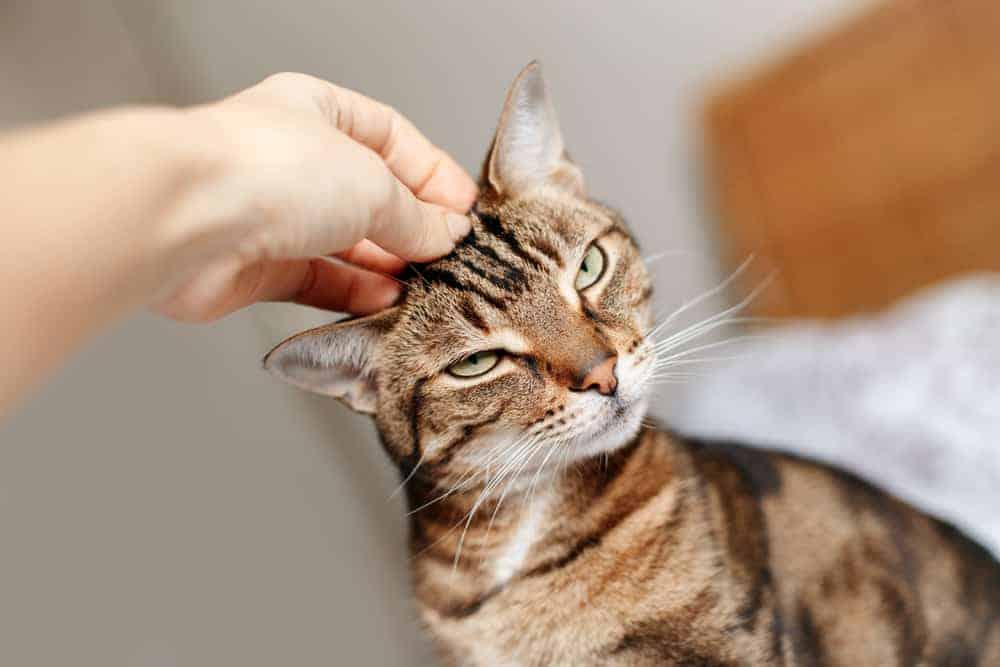 Kedilerde Çene Isırmasını Önlemek