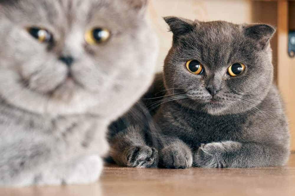 Kedilerde Çiftleşme Dönemi