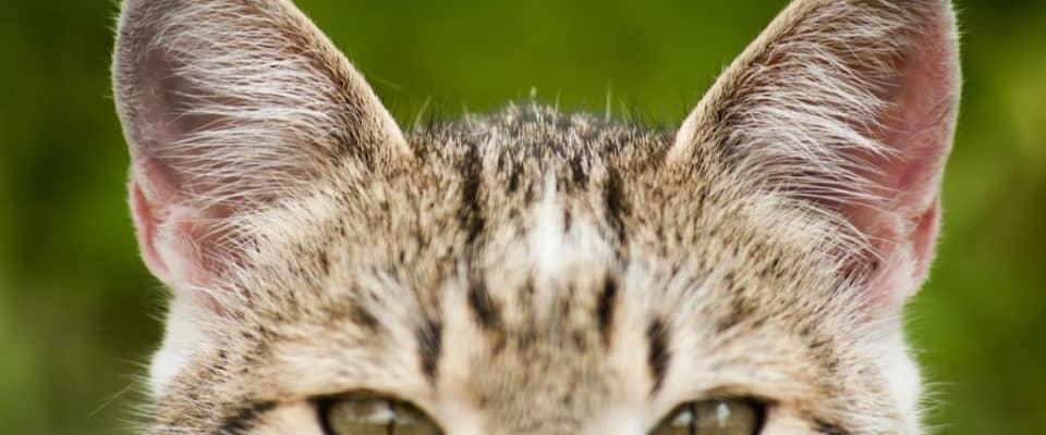 Kedilerin işitme duyusu hakkında her şey!