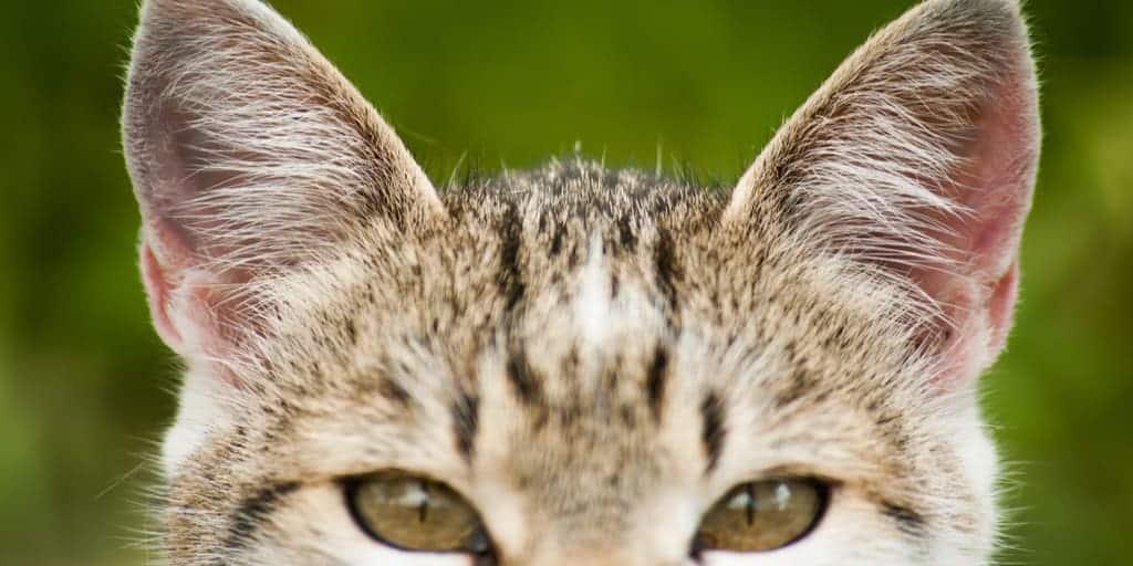 Kedilerde işitme duyusu