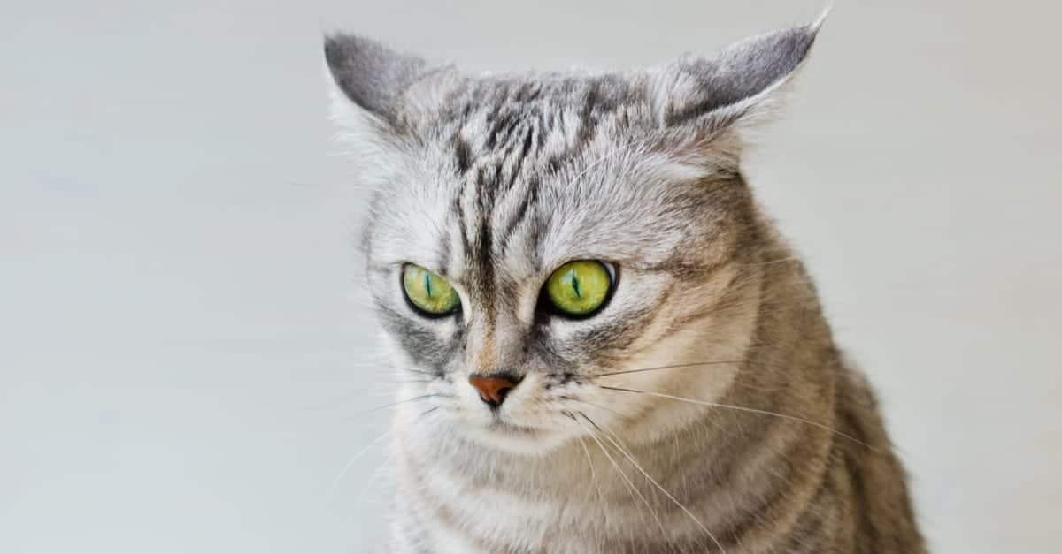 Kedilerde işitme kaygı