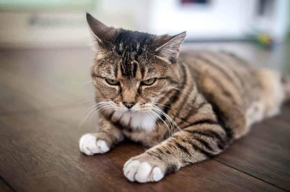 Kedilerde Kızgınlık Belirtileri