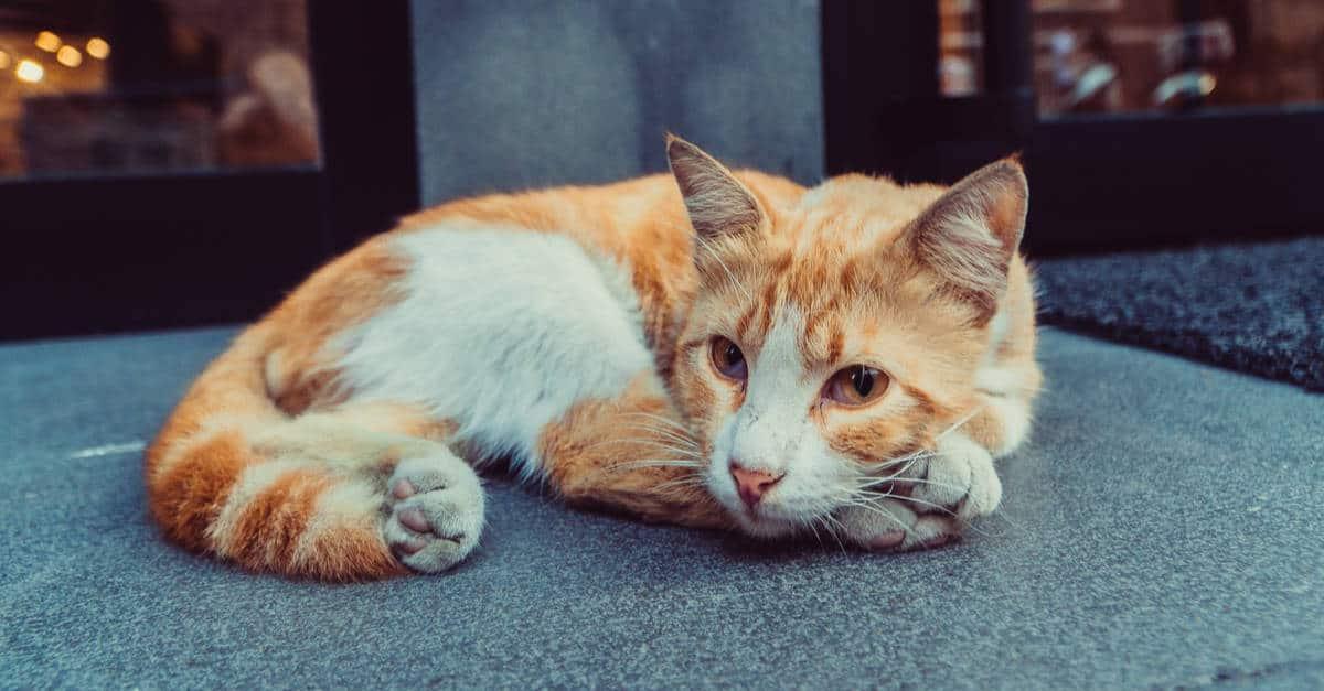 kedilerde kızgınlık döngüsü