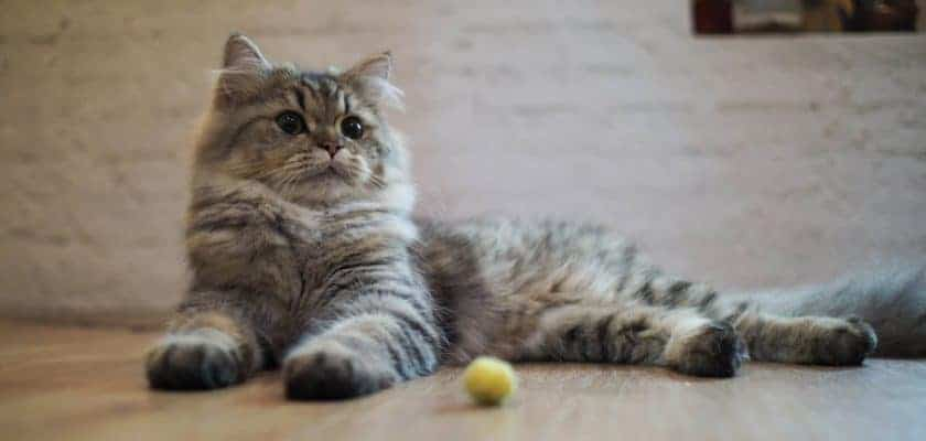 Kedilerde Klasik Koşullandırma Eğitimi