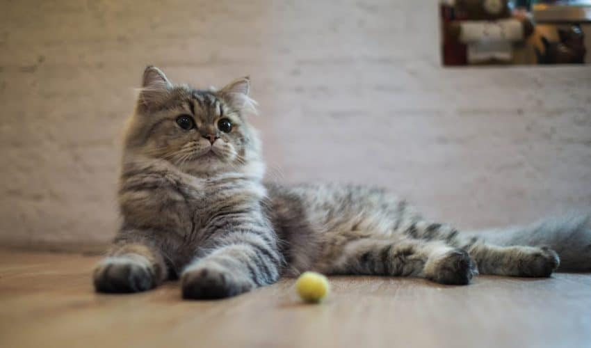 Kedilerde klasik koşullanma eğitimi nedir?