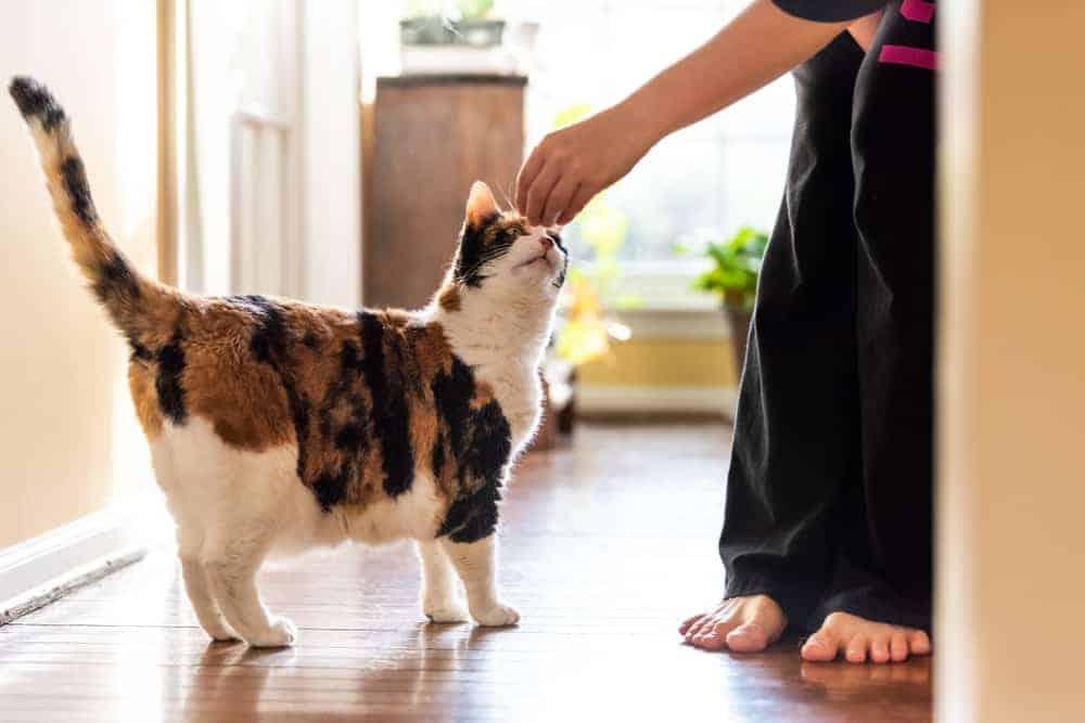 Kedilerde Klasik Koşullanma