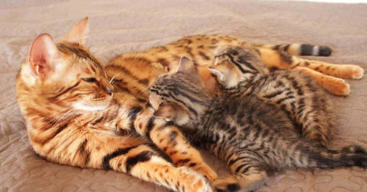 kedilerde mastitis nedenleri