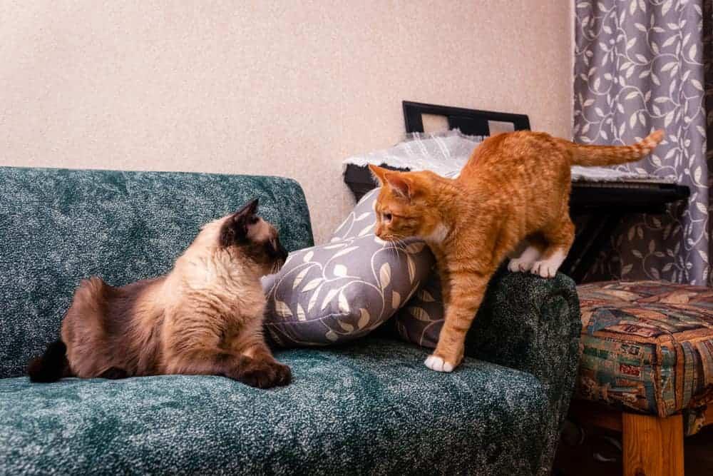 Kedilerde Sosyalleşme