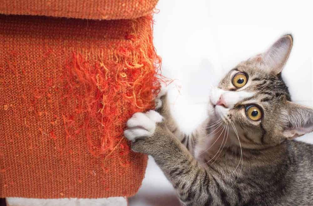 Kedilerde Tırmalama Sorunu