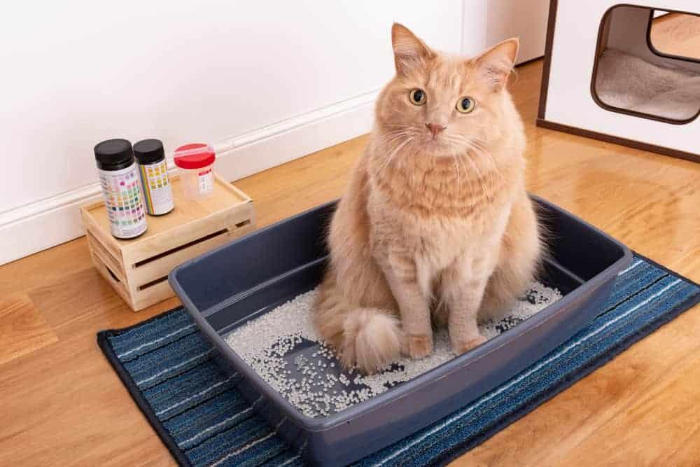 Kedilerde üreme sağlığı