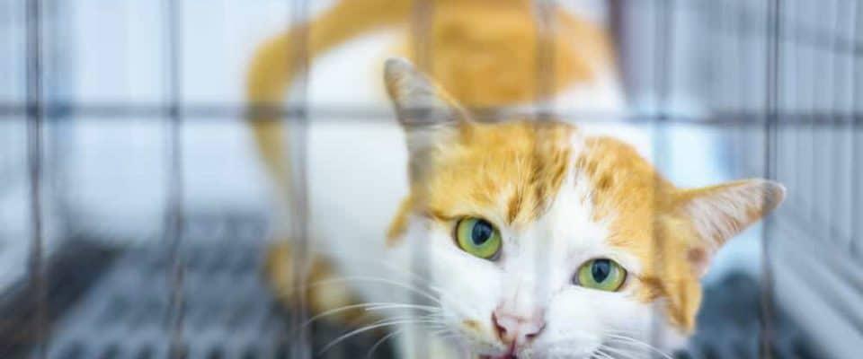 Kedilerde veteriner ziyareti sonrası oluşan saldırganlık hali