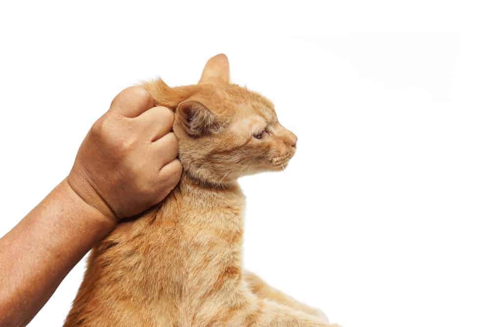 Kedileri Ensesinden Tutma Nedenleri