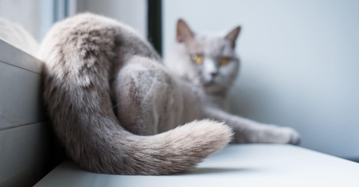 kedilerin kuyrukları